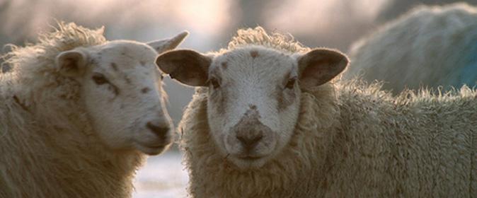 Sheep (James Bowe) 674 x280