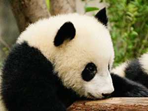 100-Word Fiction: Cuddling Panda Babies